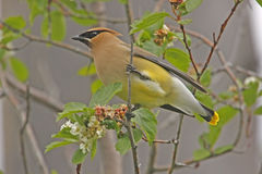 Cedar Waxwing (Bombycilla cedrorum) Royalty Free Stock Photography