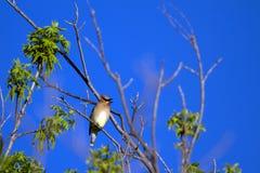 Free Cedar Waxwing, Bombycilla Cedrorum Stock Images - 54605274