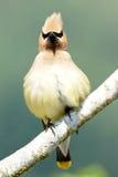 Cedar Waxwing - Bombycilla cedrorum Royaltyfri Fotografi