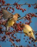 Cedar Waxwing - Bombycilla cedrorum Royaltyfria Bilder