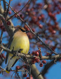 Cedar Waxwing - Bombycilla cedrorum Royalty Free Stock Images