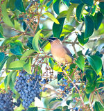 Cedar Waxwing - Bombycilla cedrorum - Bird. A Cedar Waxwing, Bombycilla cedrorum, eating berries from a tree Royalty Free Stock Photos