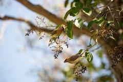 Cedar waxwing - Bombycilla cedrorum Royalty Free Stock Photos