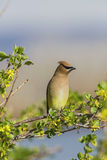 Cedar Waxwing Bombycilla cedrorum Royalty Free Stock Images