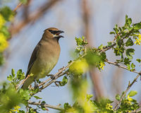 Cedar Waxwing Bombycilla cedrorum Stock Photography