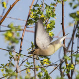 Cedar Waxwing Bombycilla cedrorum in flight Stock Images