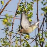 Cedar Waxwing Bombycilla cedrorum in flight stock images
