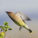 Cedar Waxwing Bombycilla cedrorum in flight Royalty Free Stock Photo