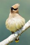 Cedar Waxwing - Bombycilla cedrorum Royalty Free Stock Photo
