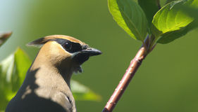 Cedar waxwing (Bombycilla cedrorum) Royalty Free Stock Images