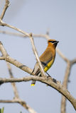 Cedar Waxwing (Bombycilla cedrorum) Stock Photography