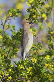 Cedar Waxwing Bombycilla cedrorum Royalty Free Stock Photos