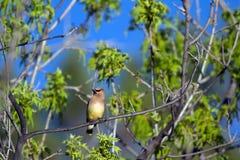 Cedar Waxwing, Bombycilla cedrorum Stock Photo