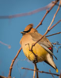 Cedar Waxwing - Bombycilla cedrorum stock photos