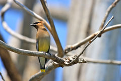 Cedar Waxwing on a Branch. Cedar Waxwing  (Bombycilla cedrorum) perched on a dead tree limb Royalty Free Stock Image