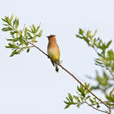 Cedar Waxwing on branch Stock Image