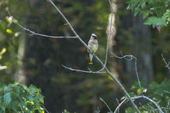Cedar Waxwing on Branch Stock Photo