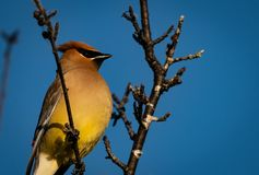 Cedar Waxwing. On a perch in a tree at sunrise male royalty free stock images