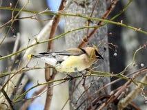 Cedar Waxwing Clinging pour amincir la branche forageant pour des baies Photographie stock libre de droits