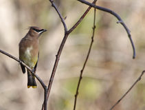 Cedar Waxwing and Copyspace Royalty Free Stock Images