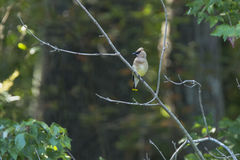 Cedar Waxwing with Crest Up on Branch in Forest Stock Photo