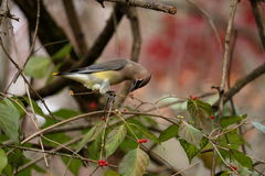 Cedar Waxwing Eating Berries foto de stock royalty free