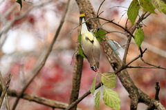 Cedar Waxwing Eating Berries Hanging de cabeça para baixo Imagens de Stock Royalty Free