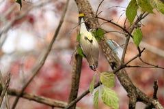 Cedar Waxwing Eating Berries Hanging sottosopra Immagini Stock Libere da Diritti