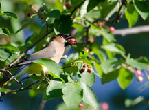 Cedar waxwing eating berry stock photo