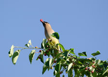 Cedar waxwing eating berry Royalty Free Stock Photography