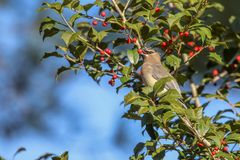 Cedar waxwing eating a berry stock photography