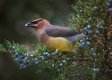 A cedar waxwing eating a blue berry off an evergreen tree in the. Winter time at twilight stock photography