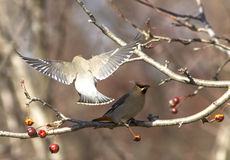 Cedar Waxwing. Eating on a branch stock image