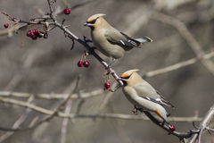 Cedar waxwing. Eating on a branch royalty free stock image