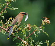 Cedar Waxwing eating bug 1 royalty free stock photo