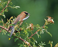 Cedar Waxwing eating bug 3 Royalty Free Stock Photography
