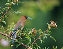 Cedar Waxwing eating bug 4 royalty free stock image