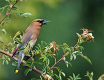 Cedar Waxwing eating bug 5 royalty free stock photo