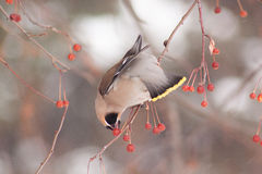 Cedar waxwing eating an frozen apples. royalty free stock photography