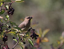 Cedar Waxwing Eating Nannyberry Fruit Stock Photo