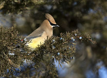 Cedar Waxwing (Bombycilla cedrorum) Royalty Free Stock Photo