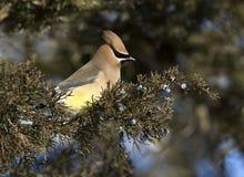 Cedar Waxwing (Bombycilla cedrorum) Royalty Free Stock Photo