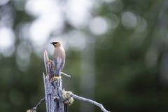 Cedar Waxwing empoleirou-se em uma árvore inoperante sobre um pântano foto de stock