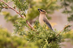 Cedar Waxwing. Feeding on Juniper berries during spring migration Royalty Free Stock Photography