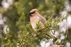 Cedar Waxwing. Feeding on Juniper berries during spring migration Royalty Free Stock Image