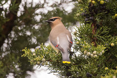 Cedar Waxwing. Feeding on Juniper berries during spring migration Royalty Free Stock Photos