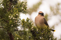 Cedar Waxwing. Feeding on Juniper berries during spring migration Stock Photo
