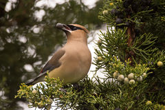 Cedar Waxwing. Feeding on Juniper berries during spring migration Stock Images
