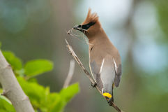 Cedar Waxwing. Gathering nest materials royalty free stock images