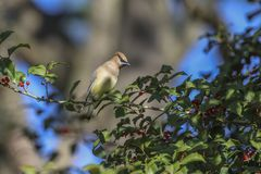 Cedar Waxwing in holly tree. Cedar waxwing after berries in holly tree stock images